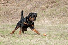 Glückliches Lauf-Hund-rottweiler, das mit Ball spielt stockfotografie