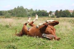 Glückliches Pferderollen im Gras Stockbild