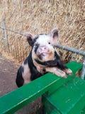 Glückliches piggy Stockfotos