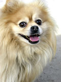 Glückliches Pomeranian Stockfotos