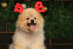 Glückliches Pomeranian mit künstlichem Rotwild-Geweihe Bandeau Stockfotografie