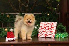 Glückliches Pomeranian unter Weihnachtsguten sachen Lizenzfreies Stockbild