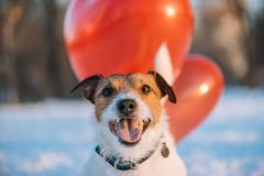 Glückliches reizendes festliches Gesicht des Hundes mit roten Luftballonen Lizenzfreie Stockfotos