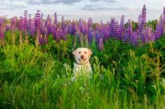 Glückliches Retrieverkitz auf einem Gebiet von purpurroten Blumen Lizenzfreies Stockfoto