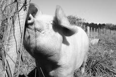 Glückliches, rosa, Freilandschwein, das auf einem Gebiet steht und seine Schnauze auf einem Beitrag, Nuhaka, Nordinsel, Neuseelan Lizenzfreies Stockbild