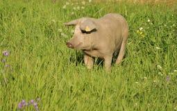 Glückliches Schwein Stockbild