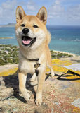 Glückliches Shiba Inu Stockfotografie