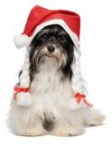 Glückliches Weihnachtshavanese Hund Lizenzfreie Stockbilder