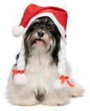 Glückliches Weihnachtshavanese Hund Stockfotos