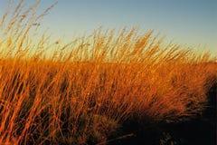 Glühende Gräser im Nachmittagssonnenlicht Stockbild
