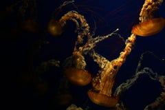 Glühende Quallenschwimmen im tiefen blauen Wasser stockfotografie