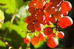 Glühende rote Trauben Stockfoto