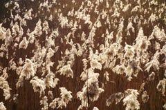 Glühende Samen-Köpfe Stockfotos