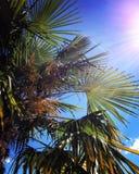 Glühende Sonne, blauer Himmel, Palme verlässt Stockfoto