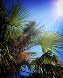 Glühende Sonne, blauer Himmel, Palme verlässt Stockbilder