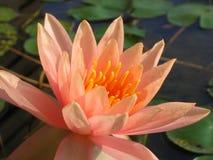 Glühende Wasser-Lilie Stockfotografie