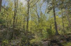 Glühender Frühlings-Wald Stockfotos