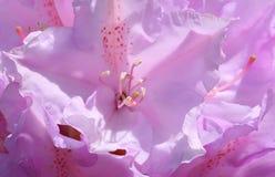 Glühender Rhododendron Lizenzfreies Stockfoto