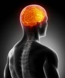 Glühendes Gehirn im menschlichen Körper Lizenzfreies Stockbild