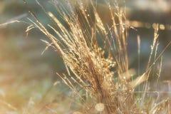 Glühendes Gras mit Sonne des Taus morgens Stockfotos