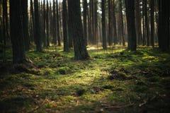 Glühendes Moos im Wald Stockfotografie