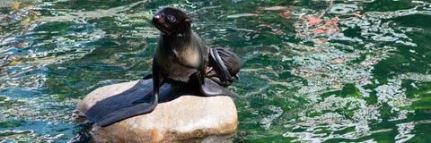Gl?ckliches Aalen der Nordspezies der dichtung seltenen in der Sonne lizenzfreies stockfoto