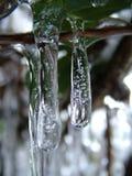 Glaçons sur des buissons de clématite dans le jardin photographie stock libre de droits