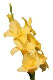 Glaïeul jaune d'isolement photo libre de droits