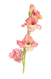 Glaïeul rose d'aquarelle Photographie stock