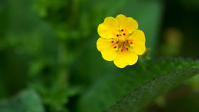 Glabra do Potentilla Imagem de Stock Royalty Free