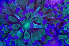 Glabrescens de Euphyllia Imagem de Stock Royalty Free
