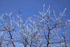 Glace de glaçure : Branchements d'arbre glacials. Images libres de droits