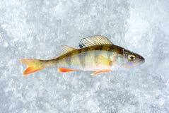 Glace et poissons de perche Images libres de droits