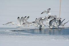 Glace mince de lac ring Billed Gulls Lifting Off images libres de droits