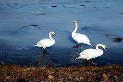 Glace sélective d'hiver d'amour de nature de valentine de jour de l'eau bleue de belle de cygne de famille carte postale saisonni Images stock