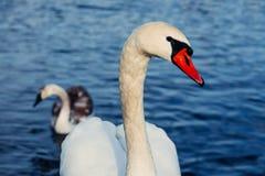 Glace sélective d'hiver d'amour de nature de valentine de jour de l'eau bleue de belle de cygne de famille carte postale saisonni Photo libre de droits