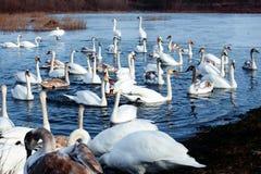 Glace sélective d'hiver d'amour de nature de valentine de jour de l'eau bleue de belle de cygne de famille carte postale saisonni Photos stock