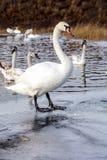 Glace sélective d'hiver d'amour de nature de valentine de jour de l'eau bleue de belle de cygne de famille carte postale saisonni Photo stock