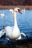 Glace sélective d'hiver d'amour de nature de valentine de jour de l'eau bleue de belle de cygne de famille carte postale saisonni Photographie stock