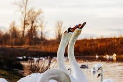 Glace sélective d'hiver d'amour de nature de valentine de jour de l'eau bleue de belle de cygne de famille carte postale saisonni Image stock
