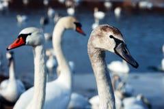 Glace sélective d'hiver d'amour de nature de valentine de jour de l'eau bleue de belle de cygne de famille carte postale saisonni Photographie stock libre de droits
