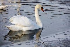 Glace sélective d'hiver d'amour de nature de valentine de jour de l'eau bleue de belle de cygne de famille carte postale saisonni Images libres de droits