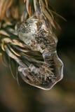 Glace sur l'arbre de pin Photographie stock