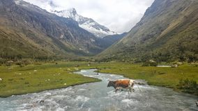 Glacial Valley. A cow crossing a meandering river in a valley with snow capped mountains near laguna 69, peru Stock Image
