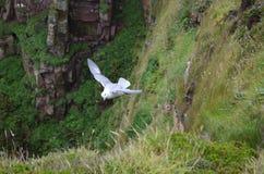 Glacialis du nord de Fulmarus de fulmar volant au-dessus des falaises du Hoy, archipel des Orcades, Ecosse Photographie stock libre de droits