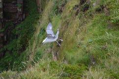 Glacialis du nord de Fulmarus de fulmar volant au-dessus des falaises du Hoy, archipel des Orcades, Ecosse Photos stock