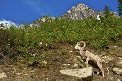Glacier Bighorn Sheep Stock Photos