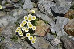 Glacier crowfoot, flower in South Tirol. A Glacier Crowfoot, or Glacier Buttercup, growing between stones in the Alps, Italy stock photography