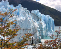 Glacier with fall color. The blue of Perito Moreno Glacier in Patagonian Argentina contrasting with golden leaves of the surrounding forest in the fall Royalty Free Stock Photo