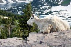 Glacier Goat Stock Images